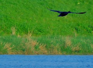 Cormorant in full flight above the Great Ouse