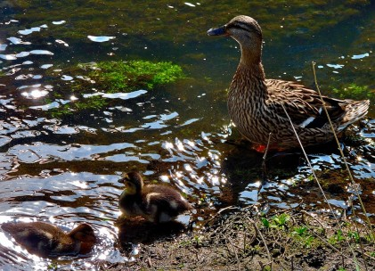 Ducklings with their mother.