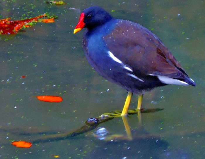 moorhen-reduced