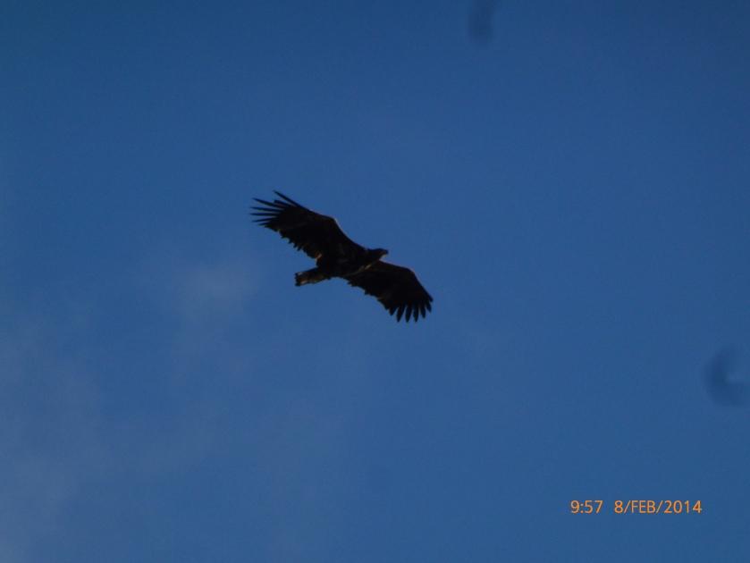 Sea Eagle at Käftudden Trosa