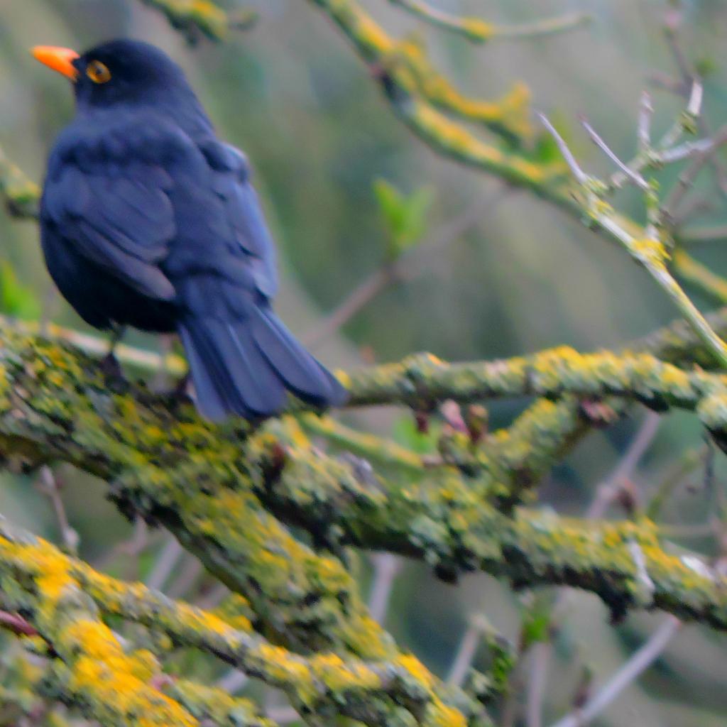 Blackbird in branches