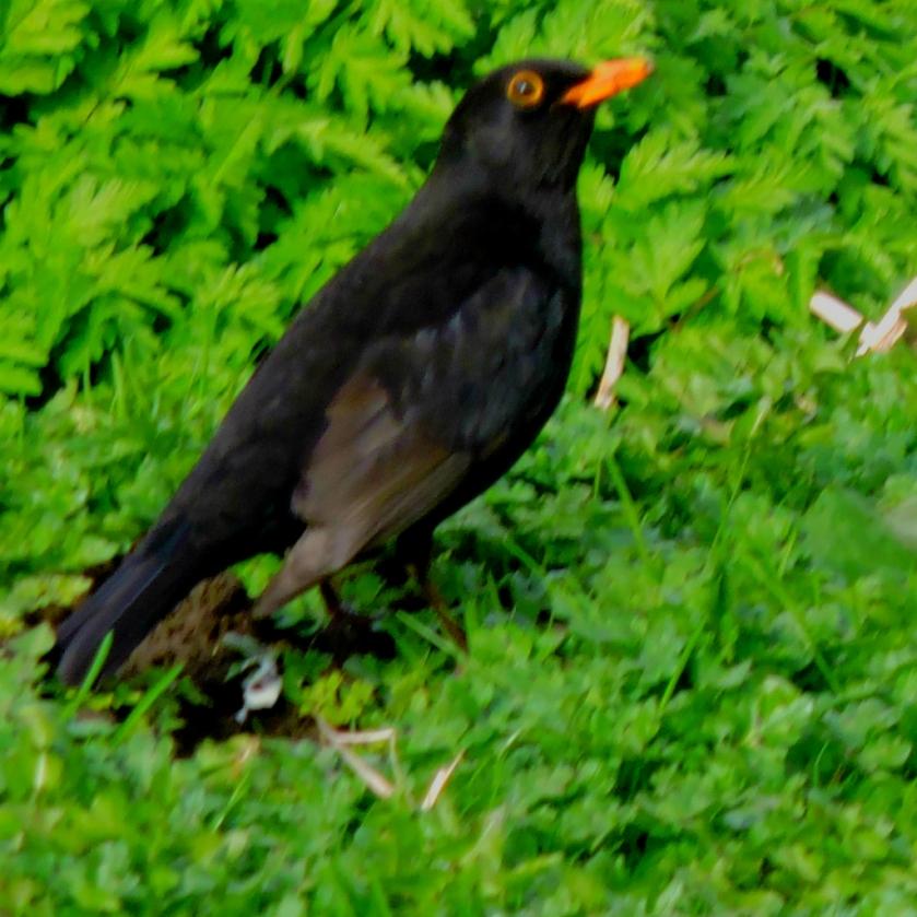 Blackbird3