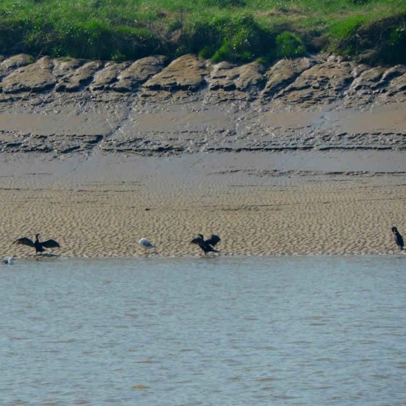 Cormorants x 3