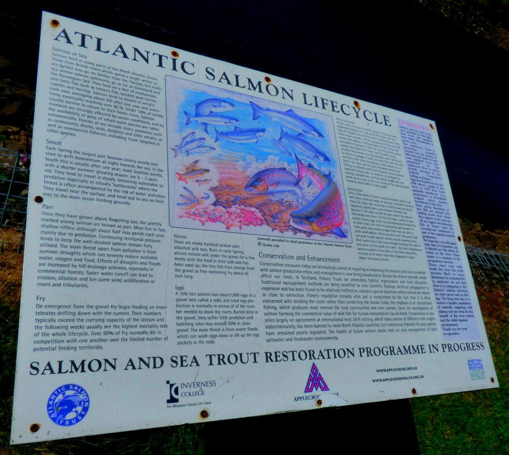 Atlantic salmon lifestyle