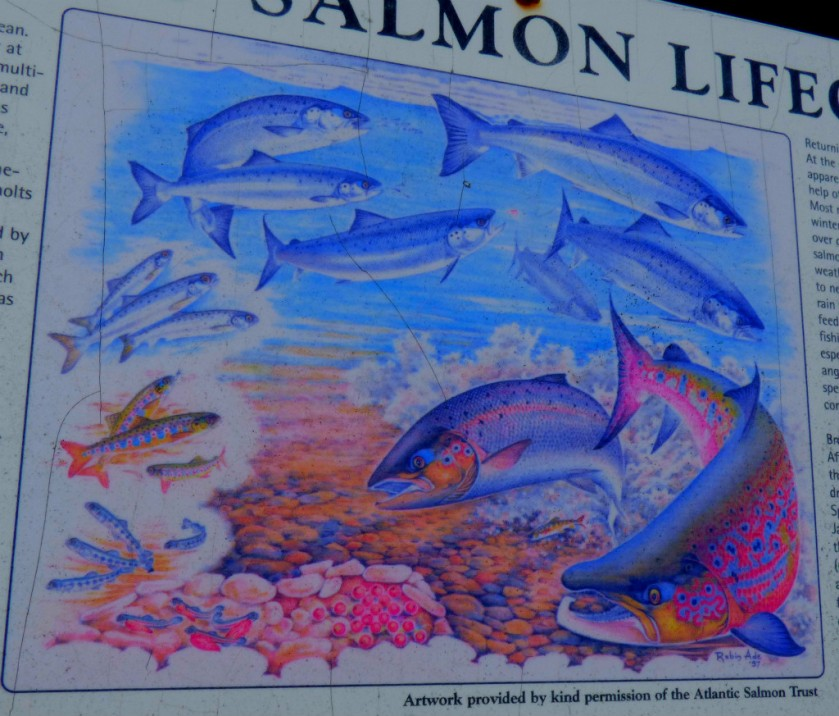 Atlantic salmon pic