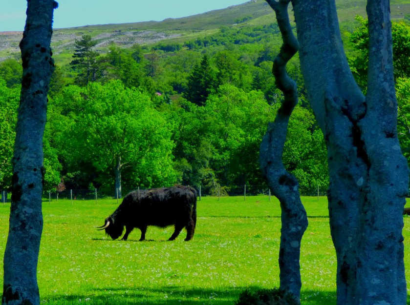 Black highland cow 2