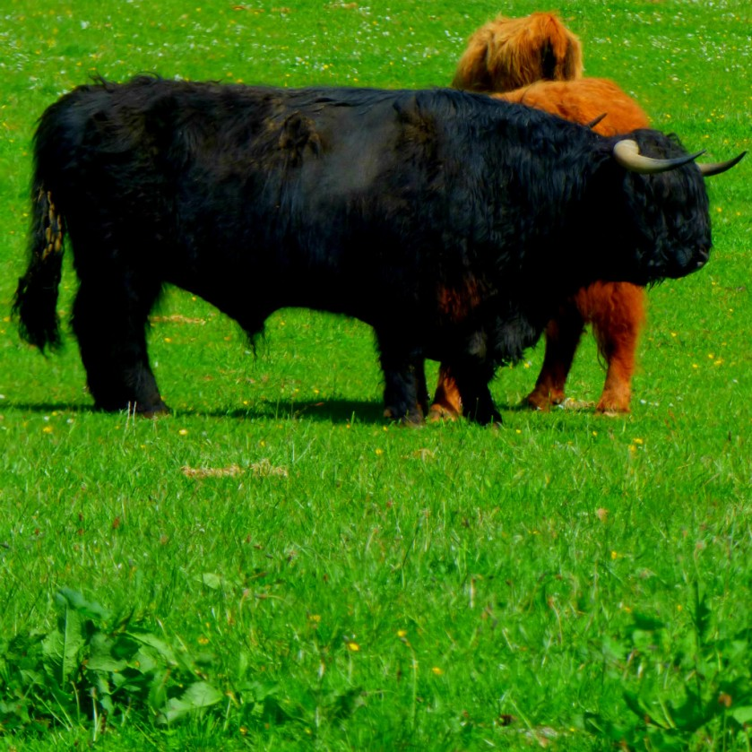 black highland cow