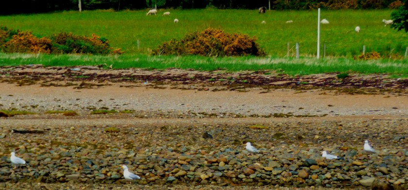 Gulls and sheep