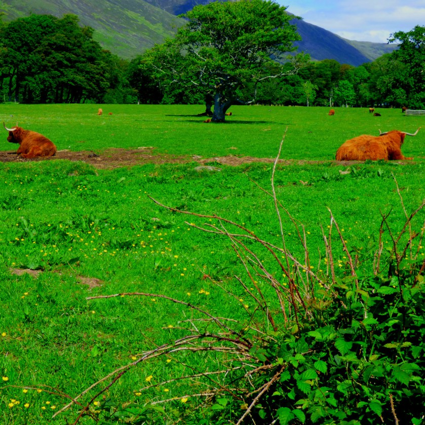 Highland cows 2