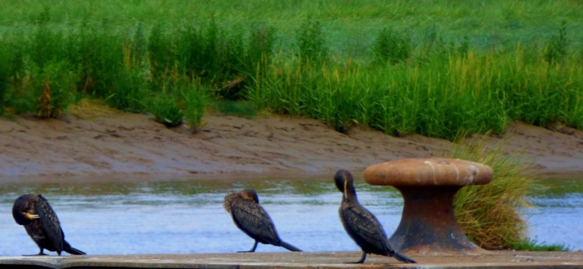 3 Cormorants