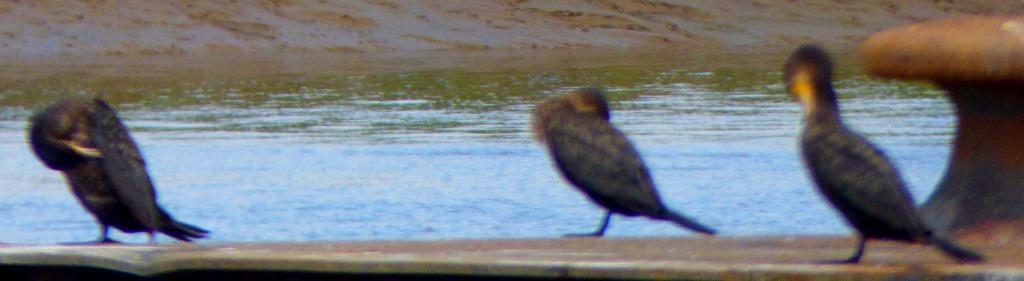 Cormorants on platform