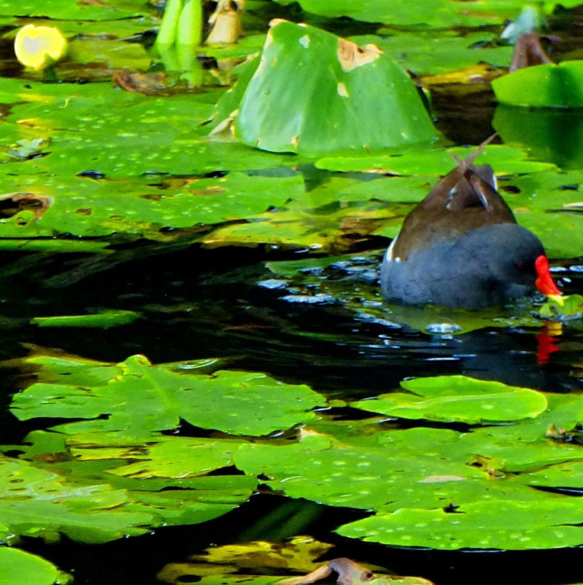 Moorhen and lilies