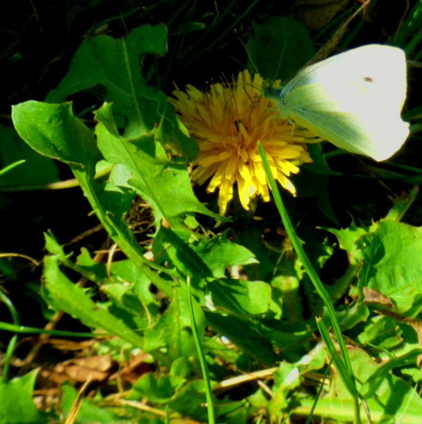 Butterfly and dandelion