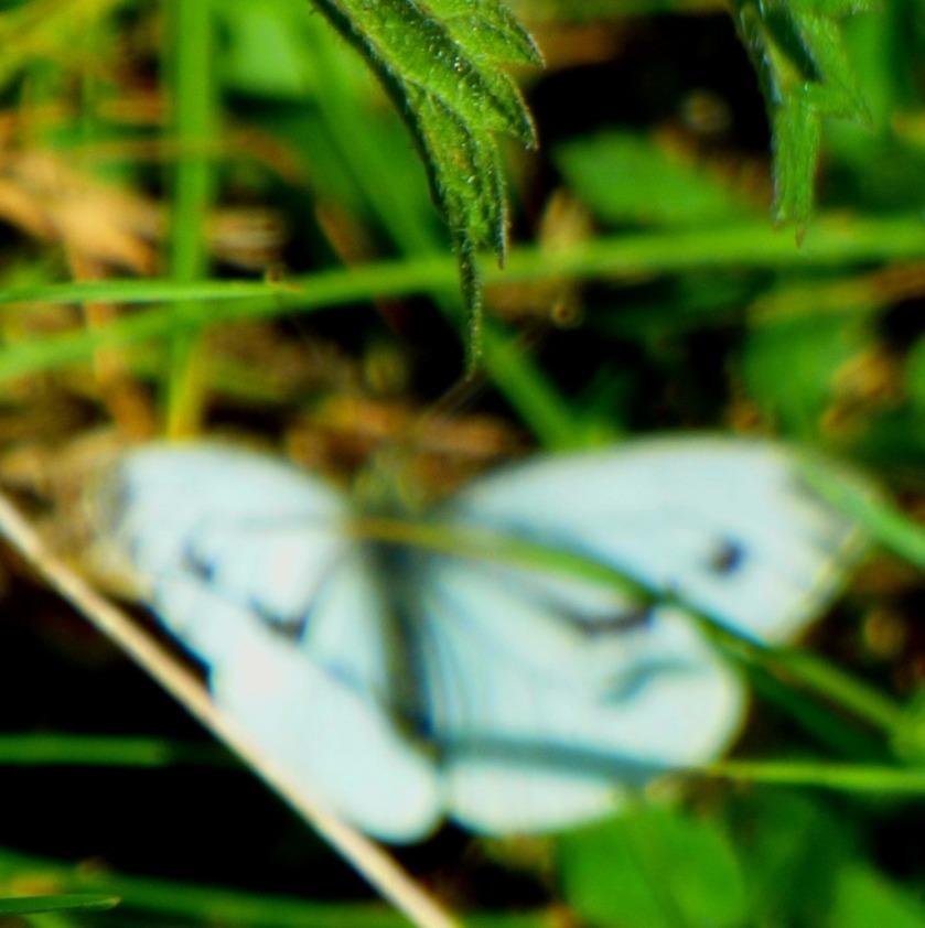 Butterfly in nettles