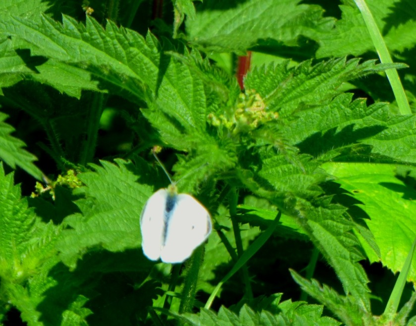 butterfly on nettle