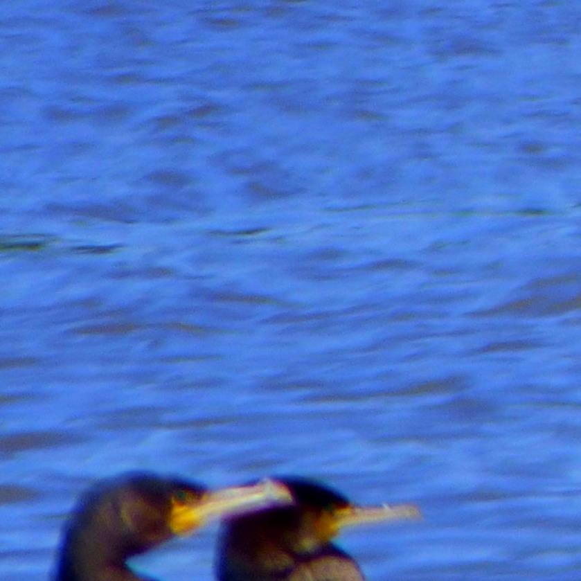Cormorant heads