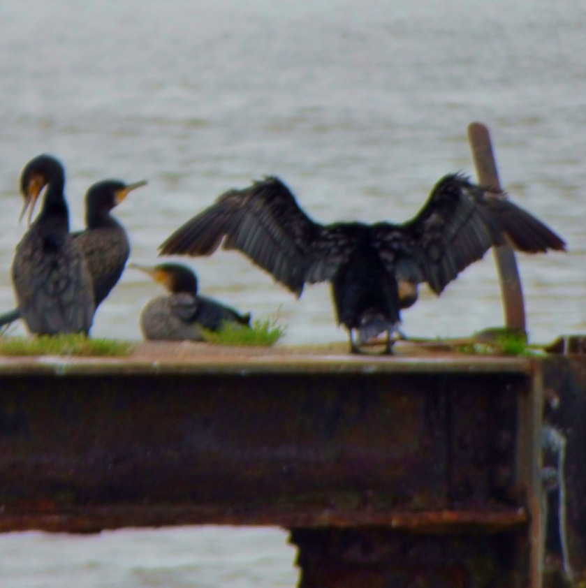 Cormorant posing 1