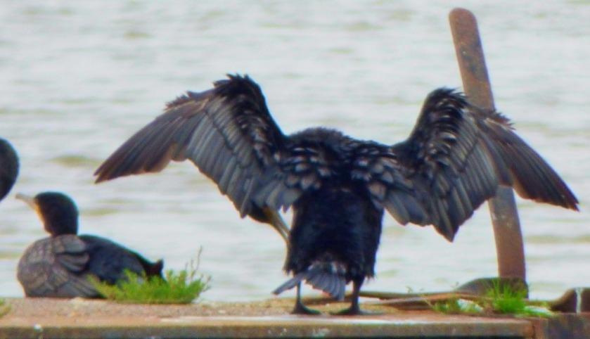 Cormorant posing 3