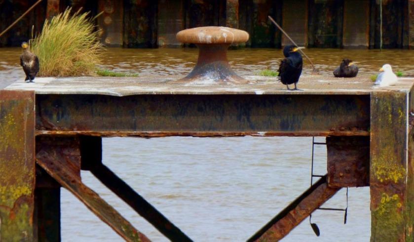 Cormorants and gull 5
