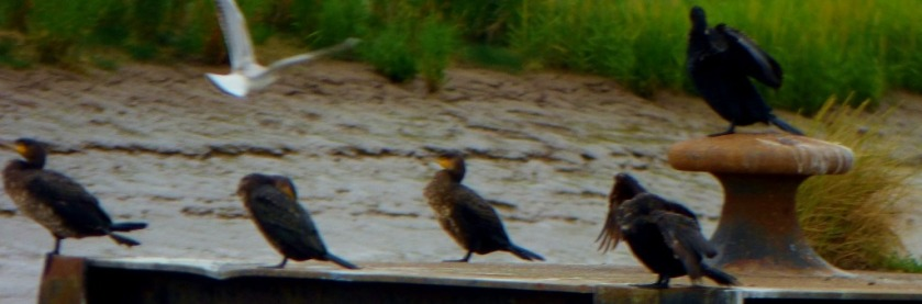 Cormorants and gull