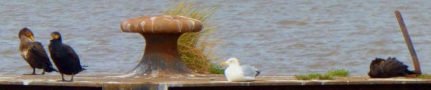 Cormorants and gull3