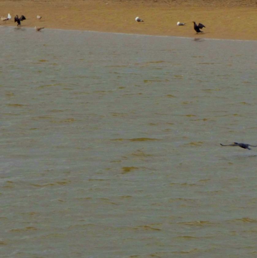 Cormorants and gulls