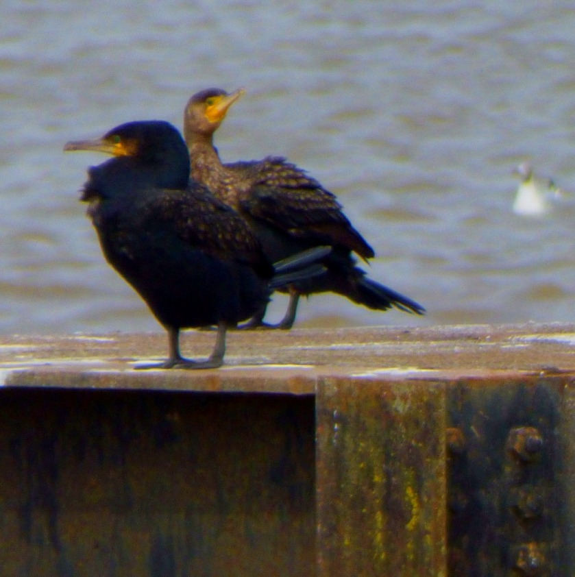 Cormorants and swimming gull