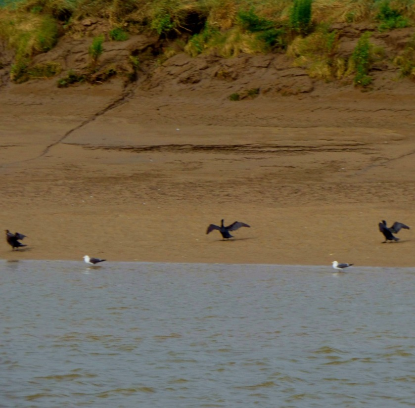 Cormorants at waters edge