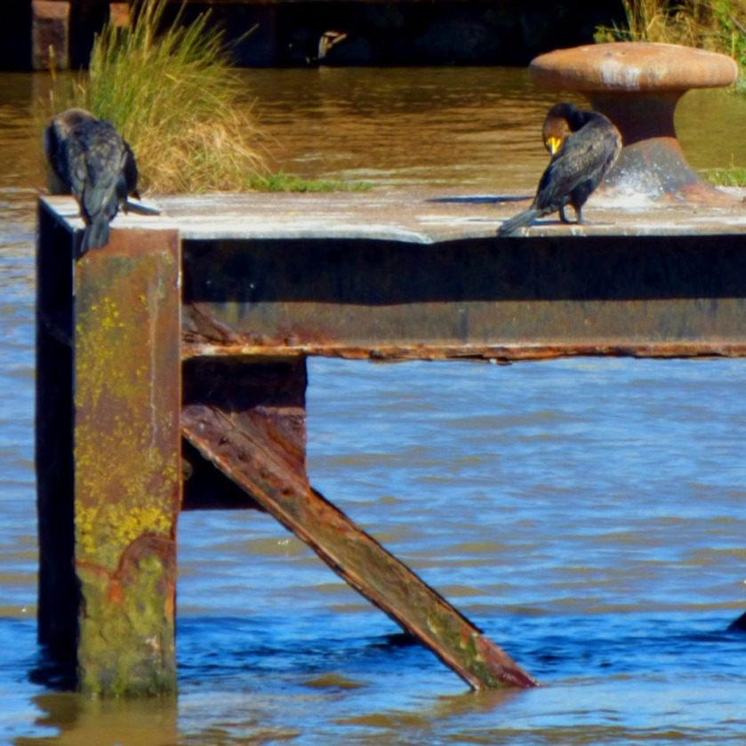 Cormorants1