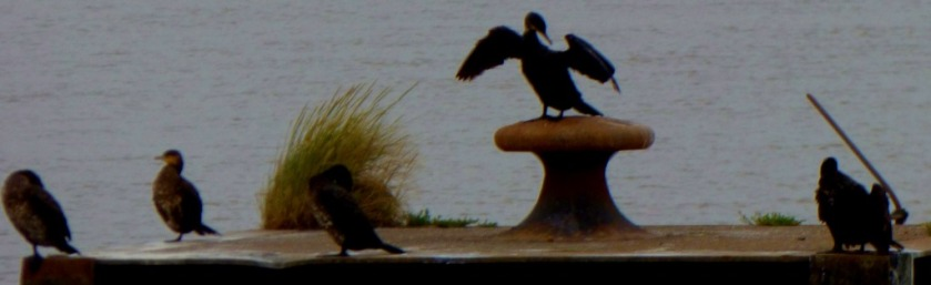 Cormorants2