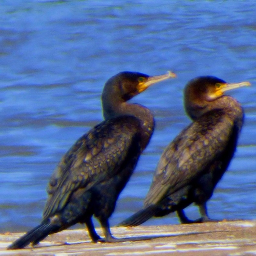 Cormorants8