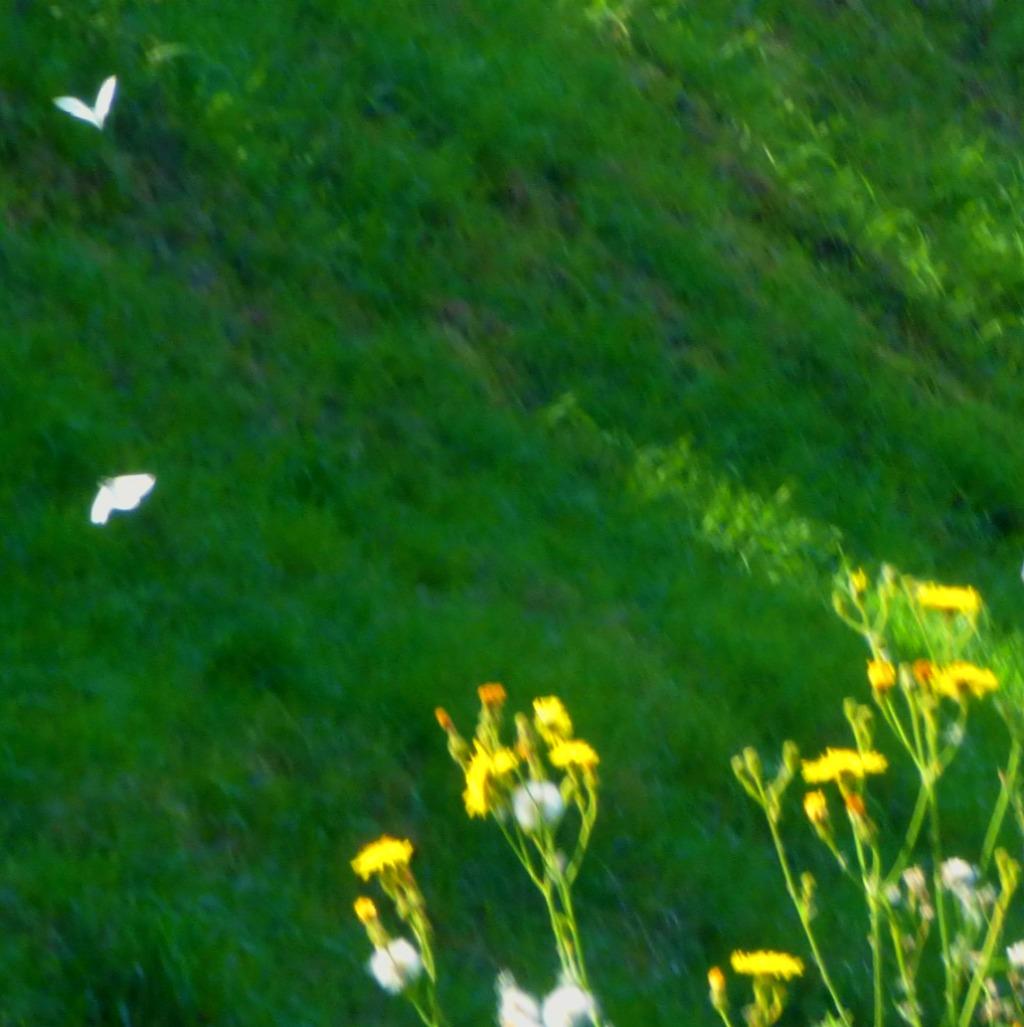 Flying buitterflies