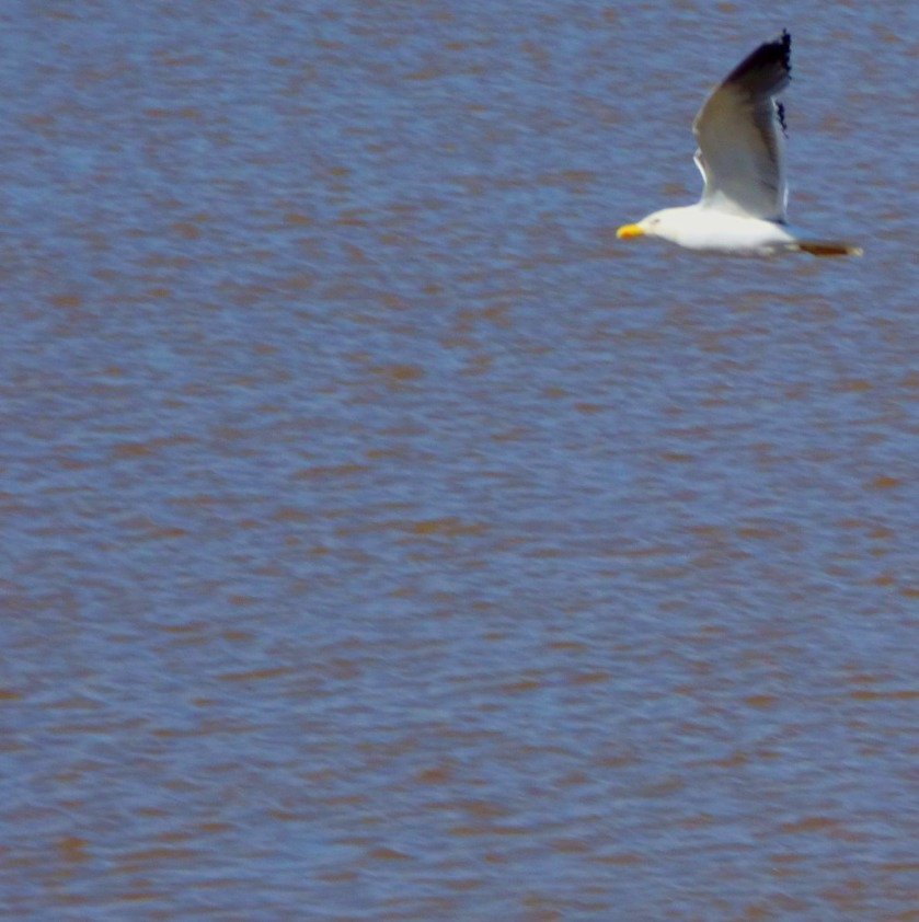 Flying Herring Gull 2