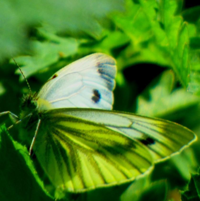 leaflike butterfly