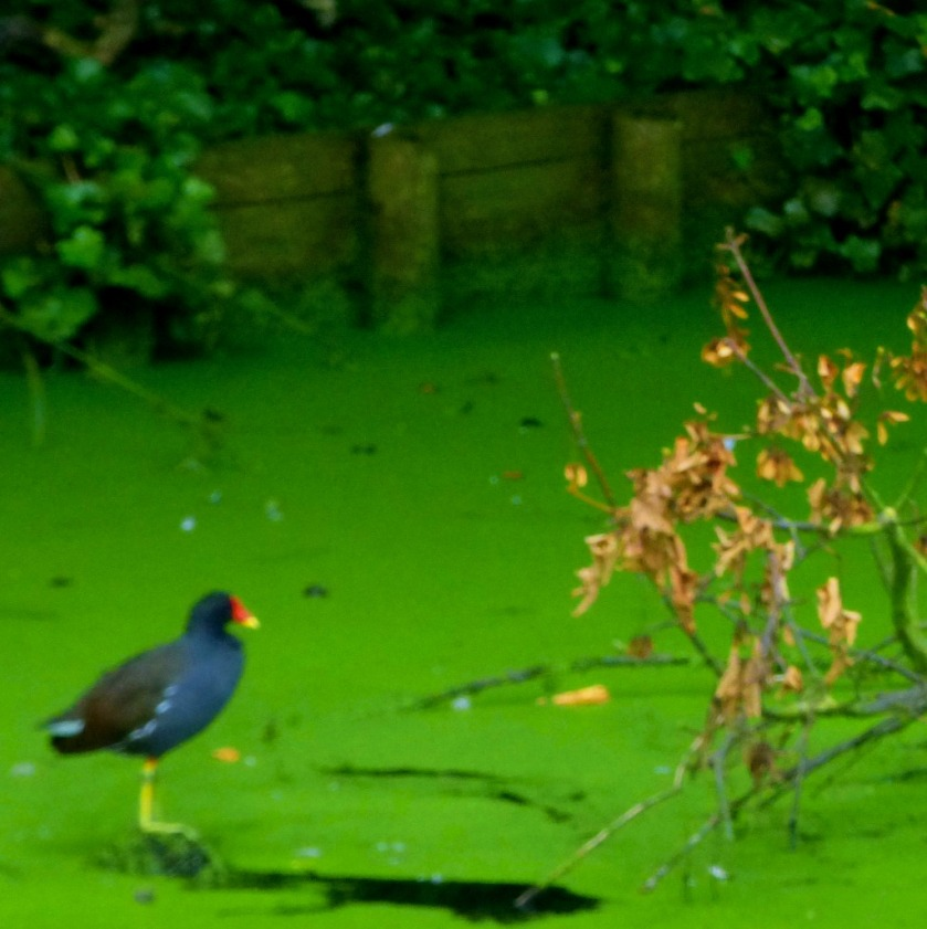 Moorhen and algae