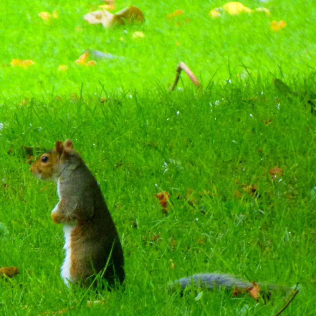 Squirrel does Meerkat impression