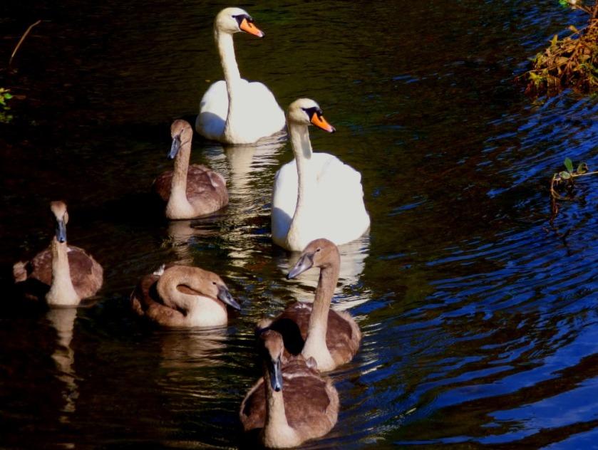 Swan family 4