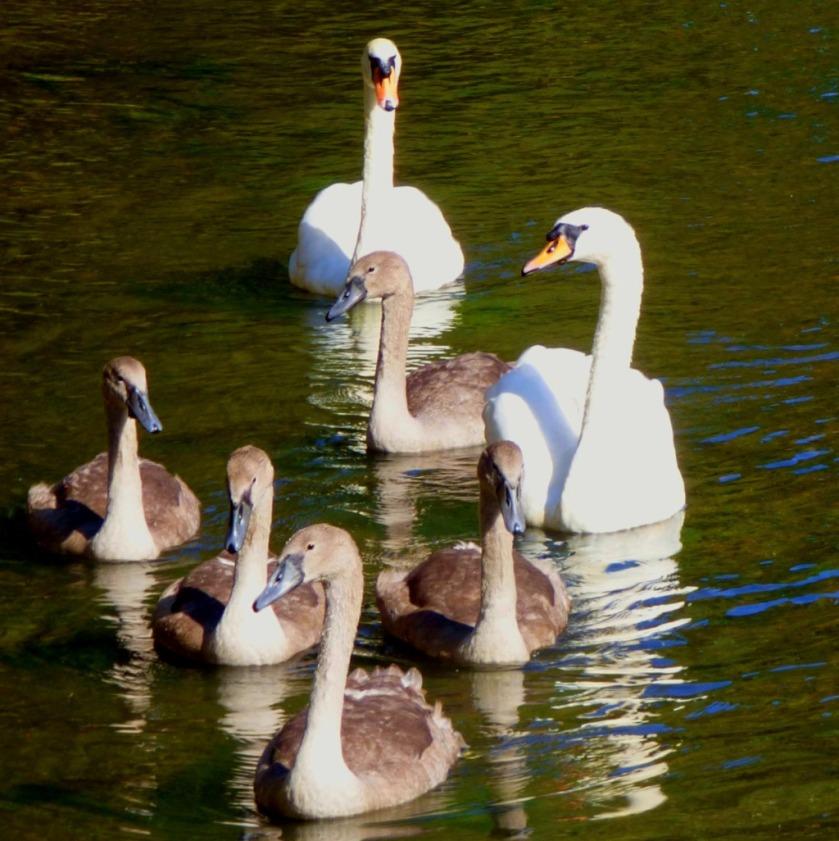 Swan family3