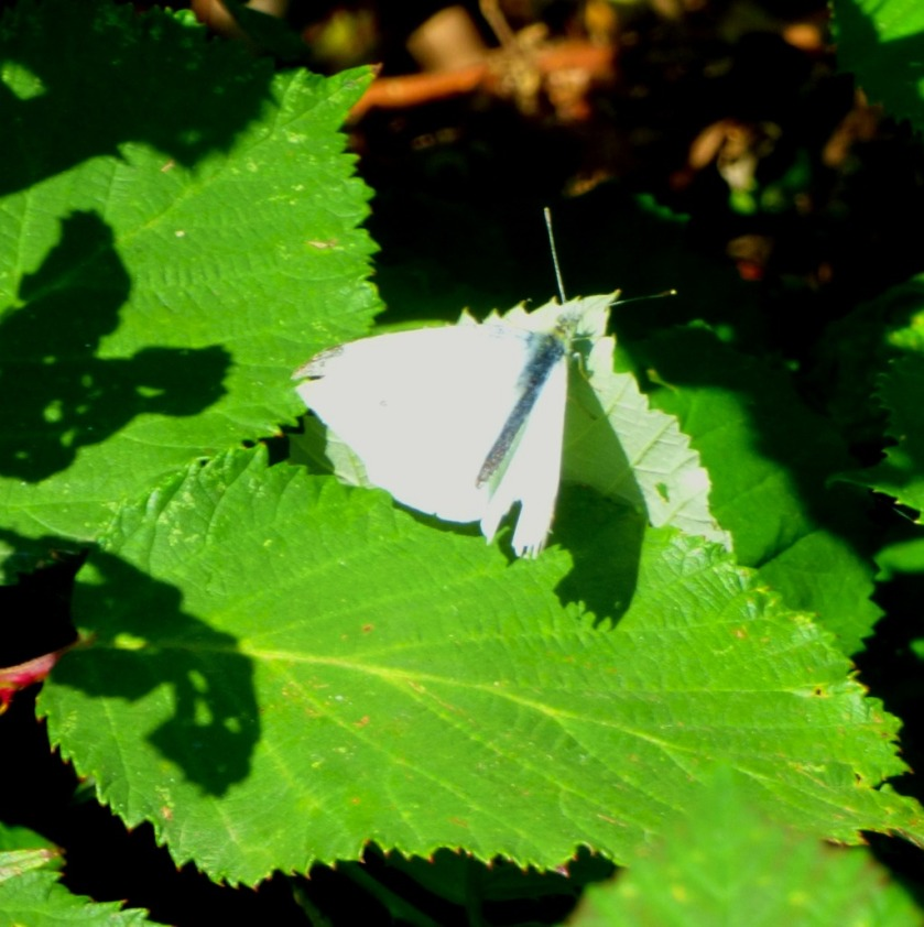 White butterfly on nettle