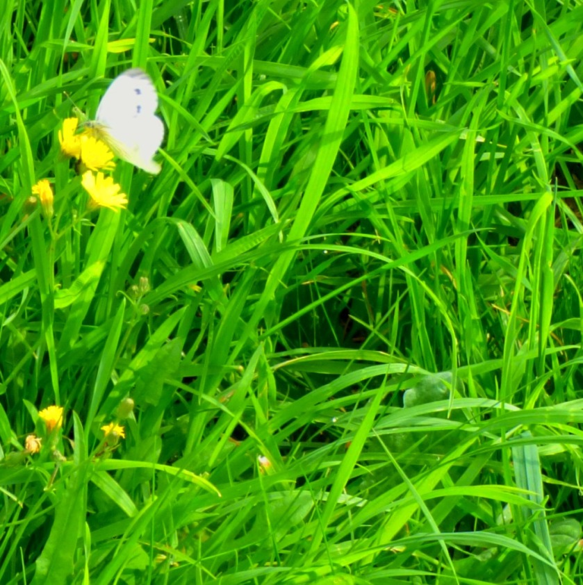 White butterfly3