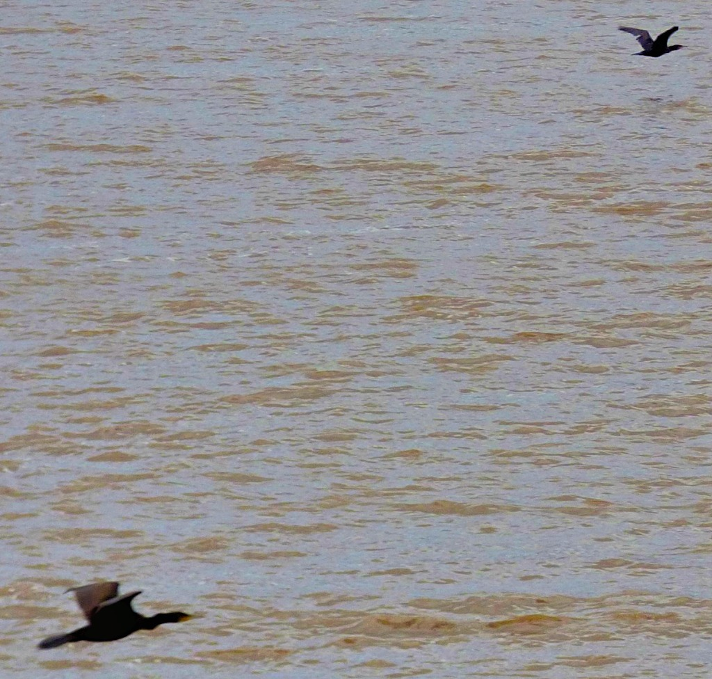 2 flying cormorants