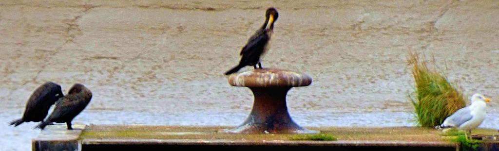 Cormorant Platform