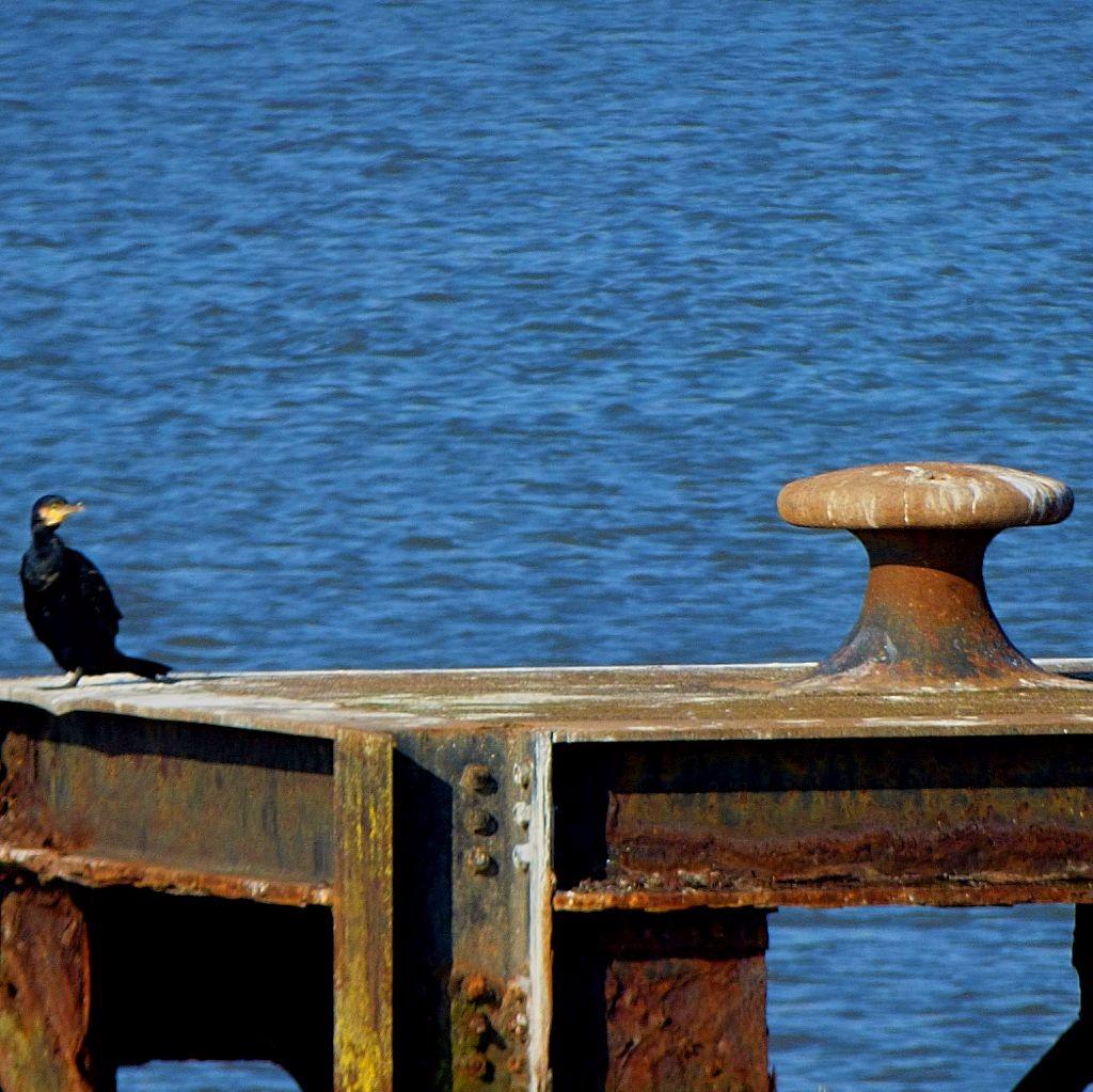 Cormorantiii