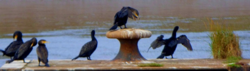 Cormorants 2
