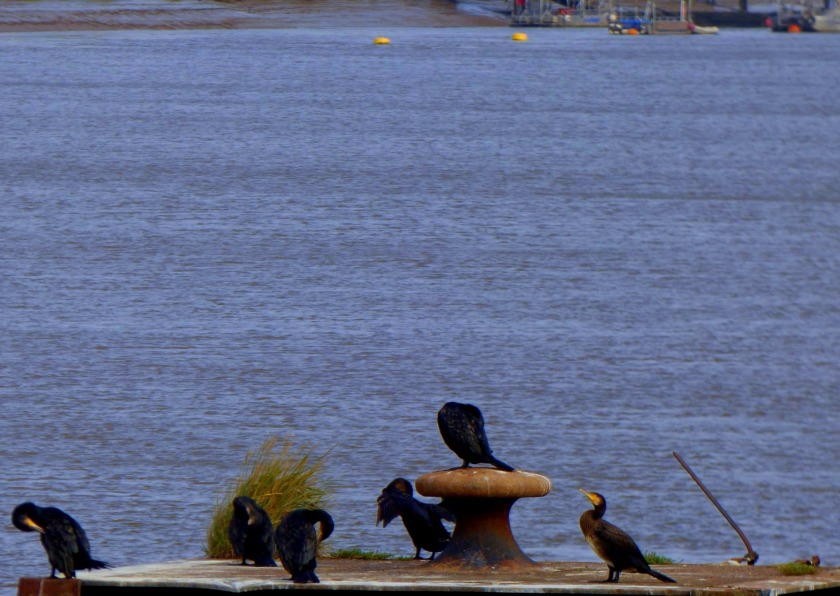 Cormorants 6 (1)