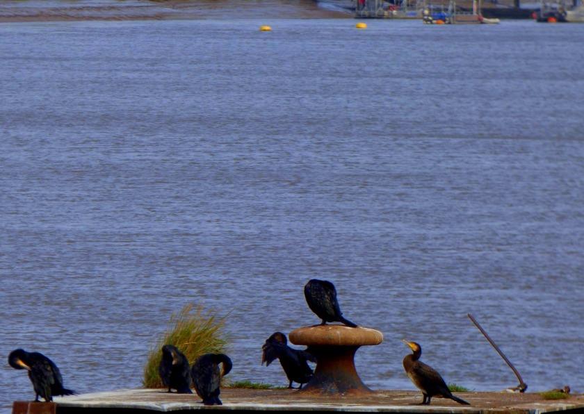 Cormorants 6 (1)