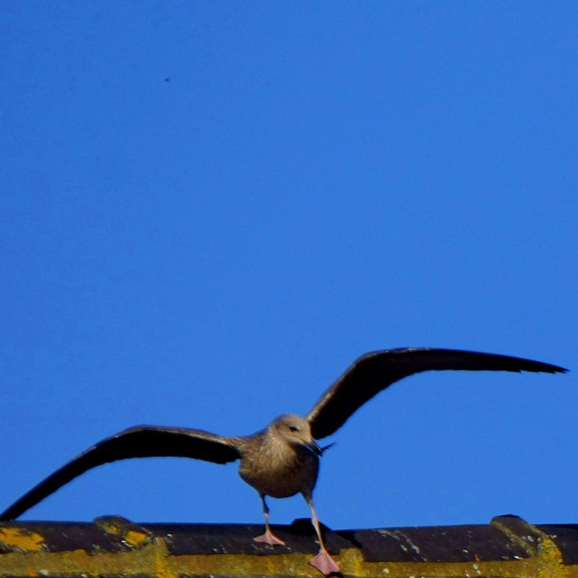 gull with spread wings