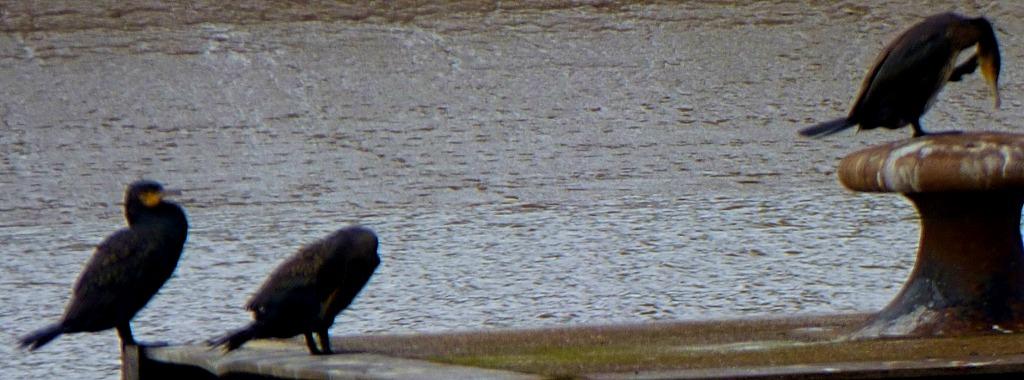 III Cormorants