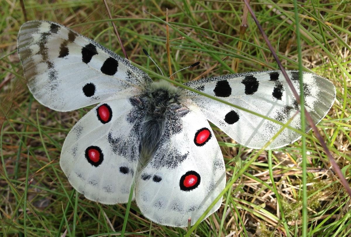 Fjärilar i Trosa – Butterflies in Trosa Sweden part1