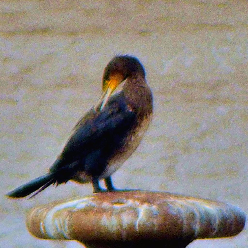 King of the Cormorant castle